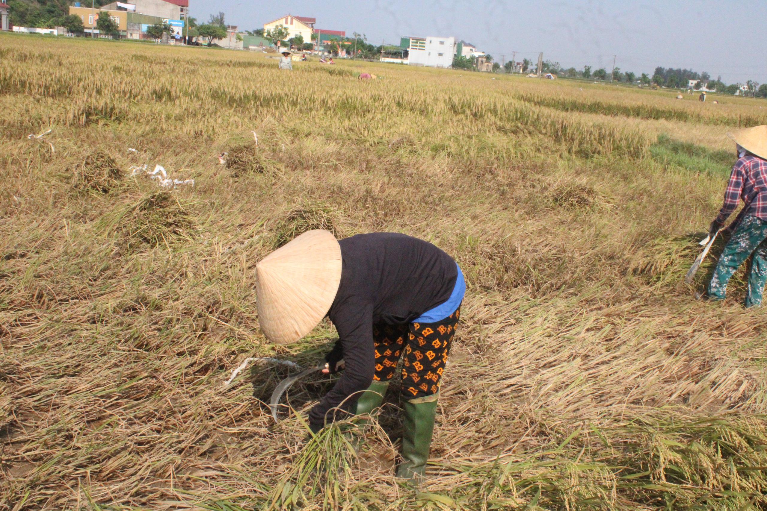 Hà Tĩnh: Lúa chín rộ, nông dân đỏ mắt tìm máy gặt - Ảnh 5.