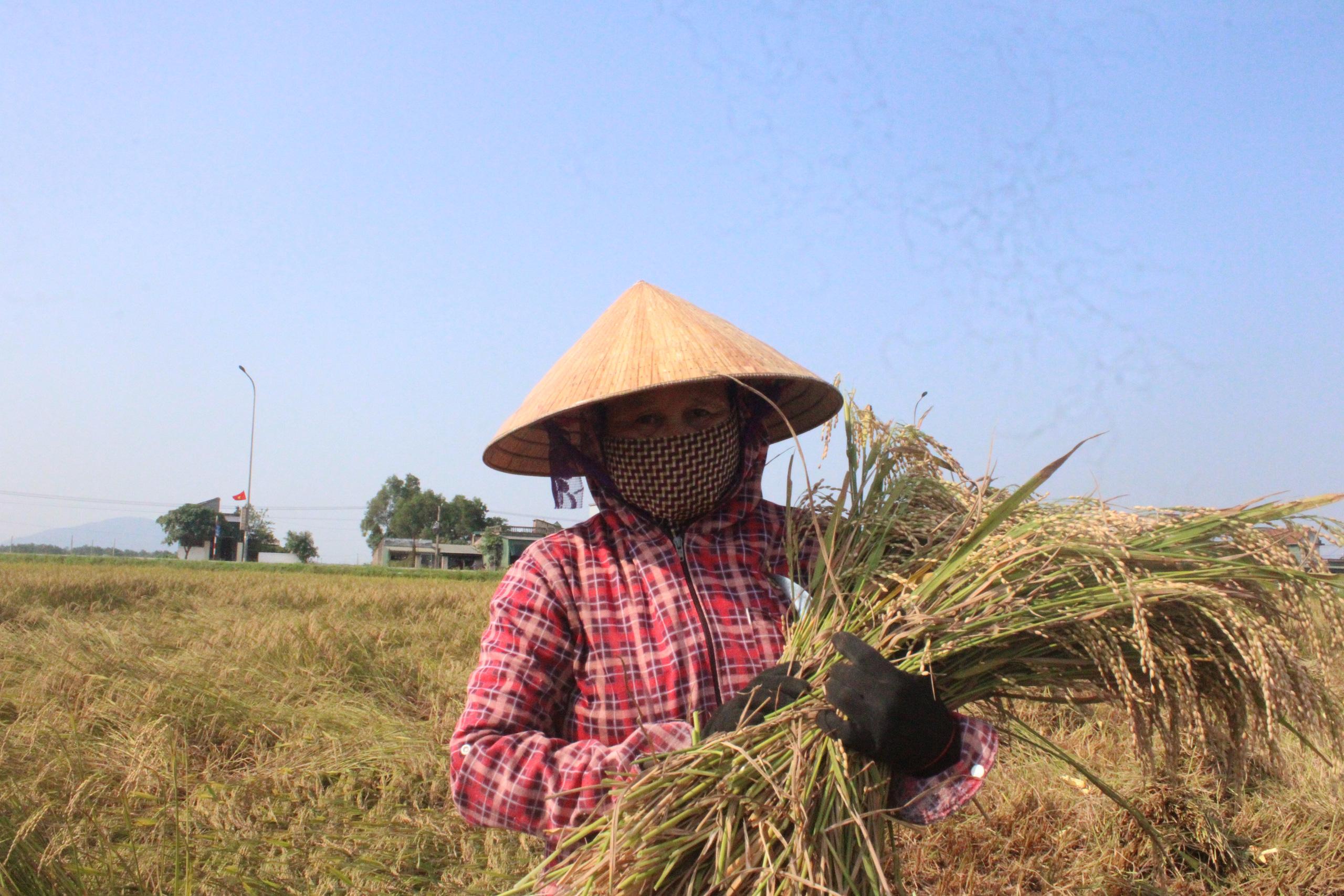Hà Tĩnh: Lúa chín rộ, nông dân đỏ mắt tìm máy gặt - Ảnh 6.