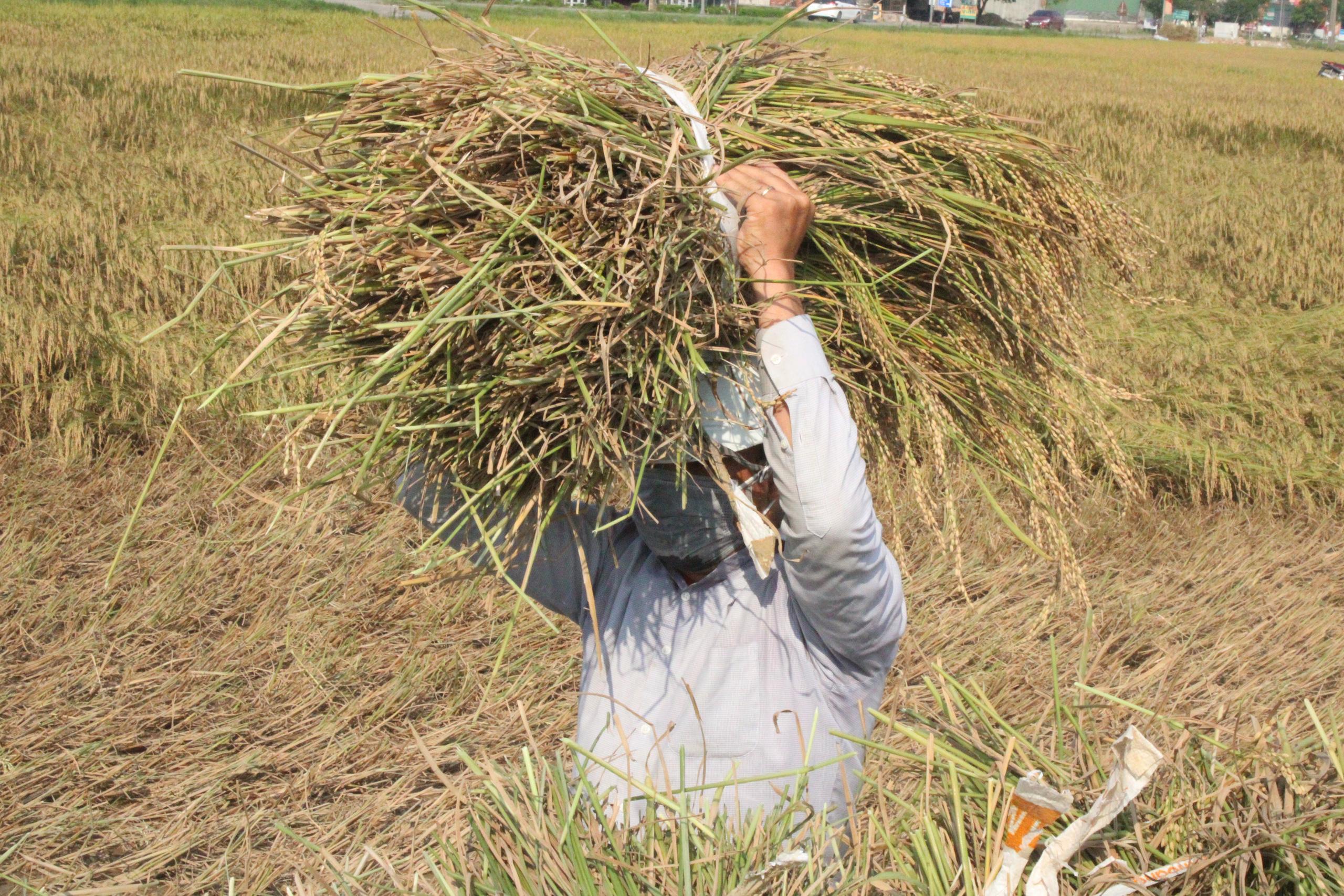 Hà Tĩnh: Lúa chín rộ, nông dân đỏ mắt tìm máy gặt - Ảnh 7.