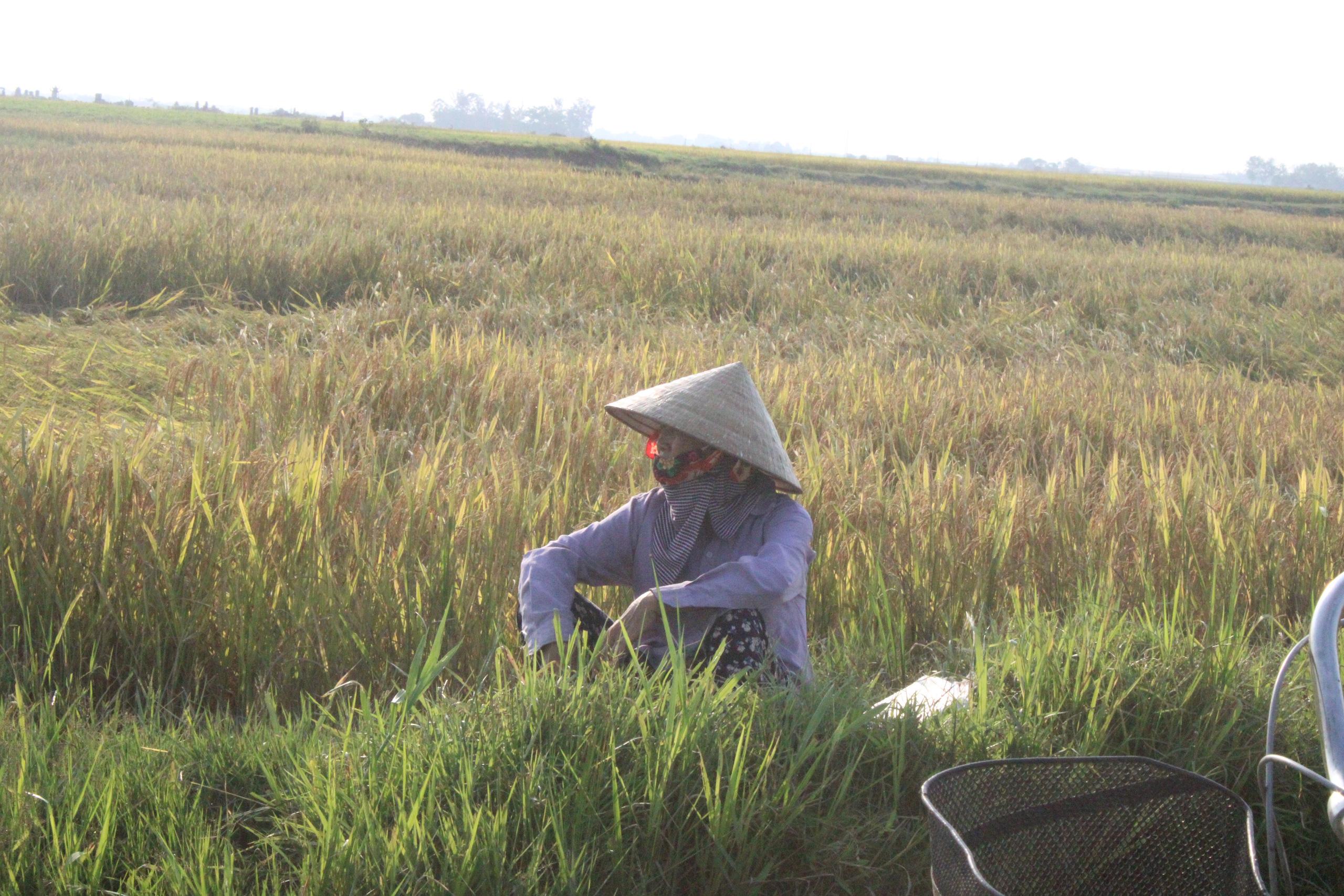 Hà Tĩnh: Lúa chín rộ, nông dân đỏ mắt tìm máy gặt - Ảnh 4.