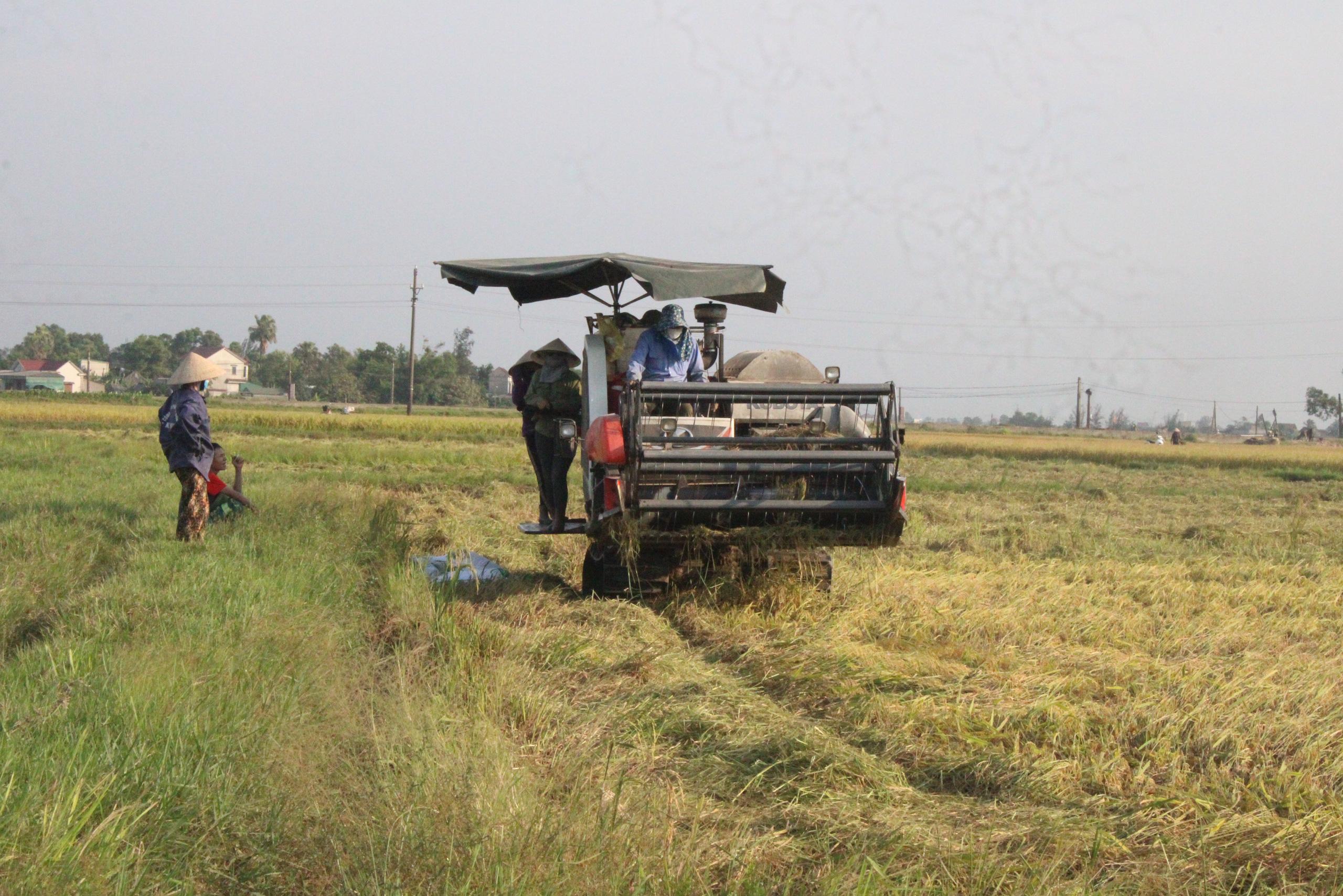 Hà Tĩnh: Lúa chín rộ, nông dân đỏ mắt tìm máy gặt - Ảnh 3.