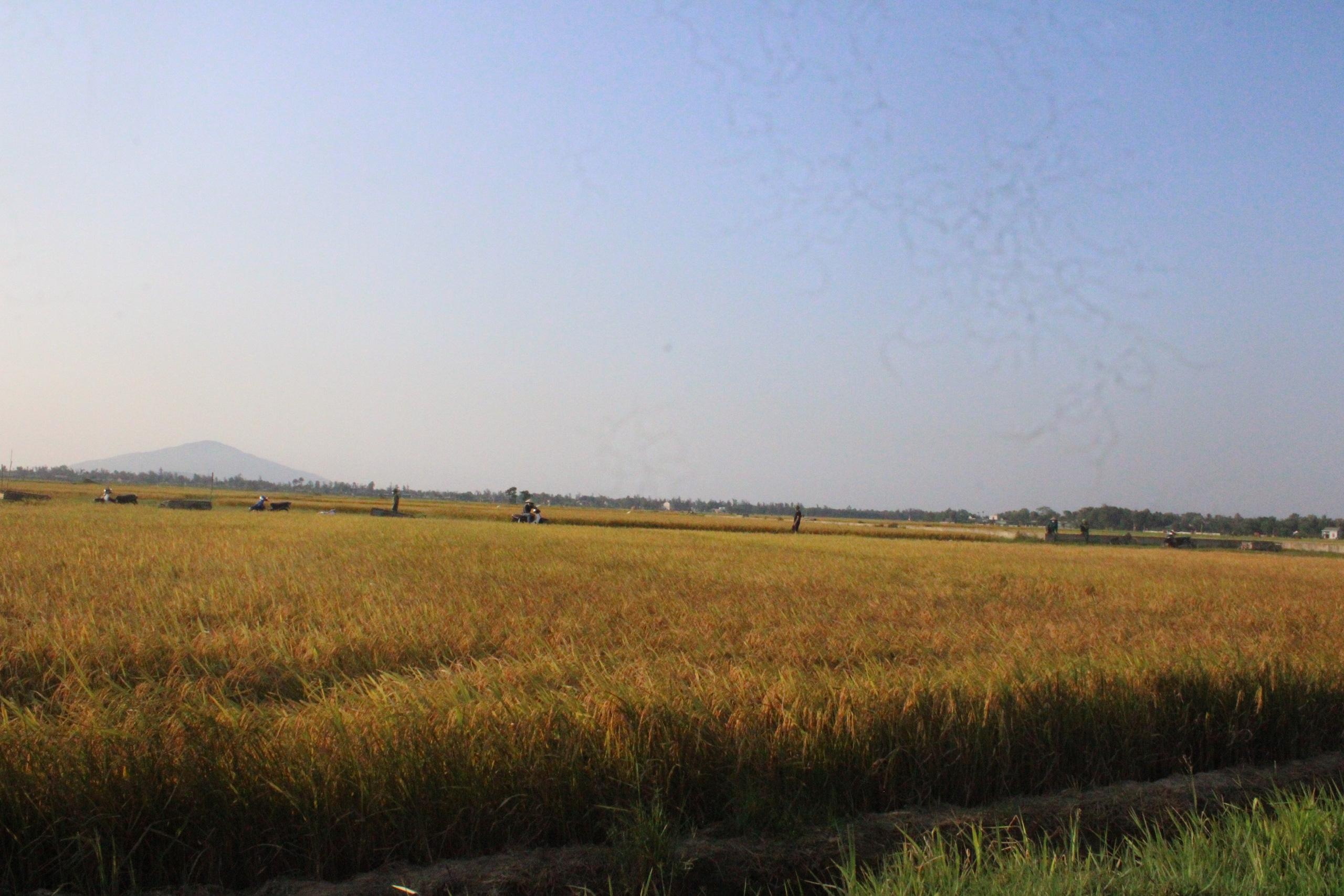 Hà Tĩnh: Lúa chín rộ, nông dân đỏ mắt tìm máy gặt - Ảnh 2.