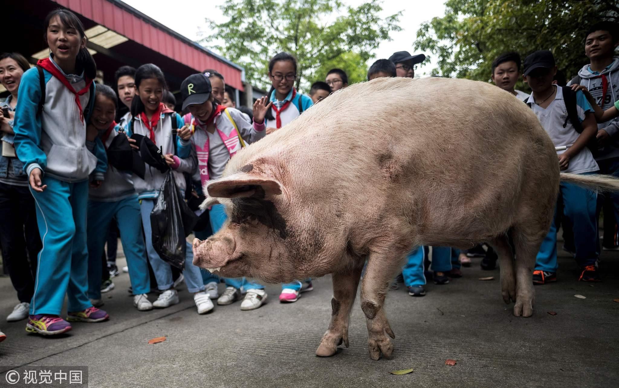 Chuyện xúc động về chú lợn nổi tiếng nhất Trung Quốc - Ảnh 1.