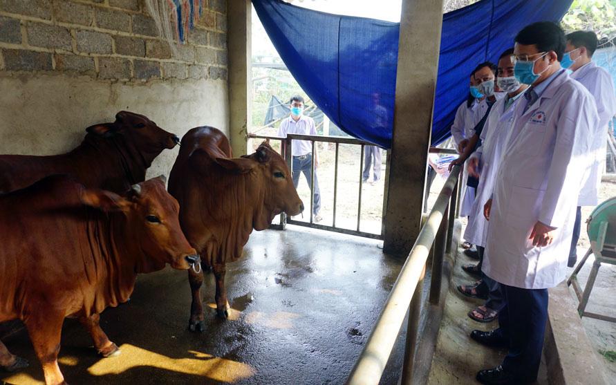 Bệnh viêm da nổi cục trên trâu bò đã lan ra bao nhiêu huyện, thị xã, thành phố của tỉnh Thái Nguyên?