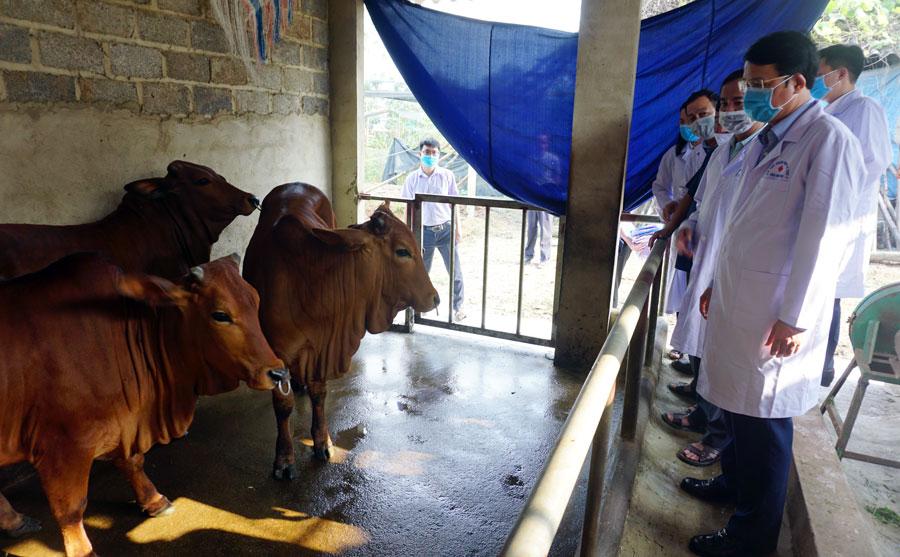 Thái Nguyên: Bệnh viêm da nổi cục trâu bò đã lan ra khắp 9 huyện, thị, thành - Ảnh 1.