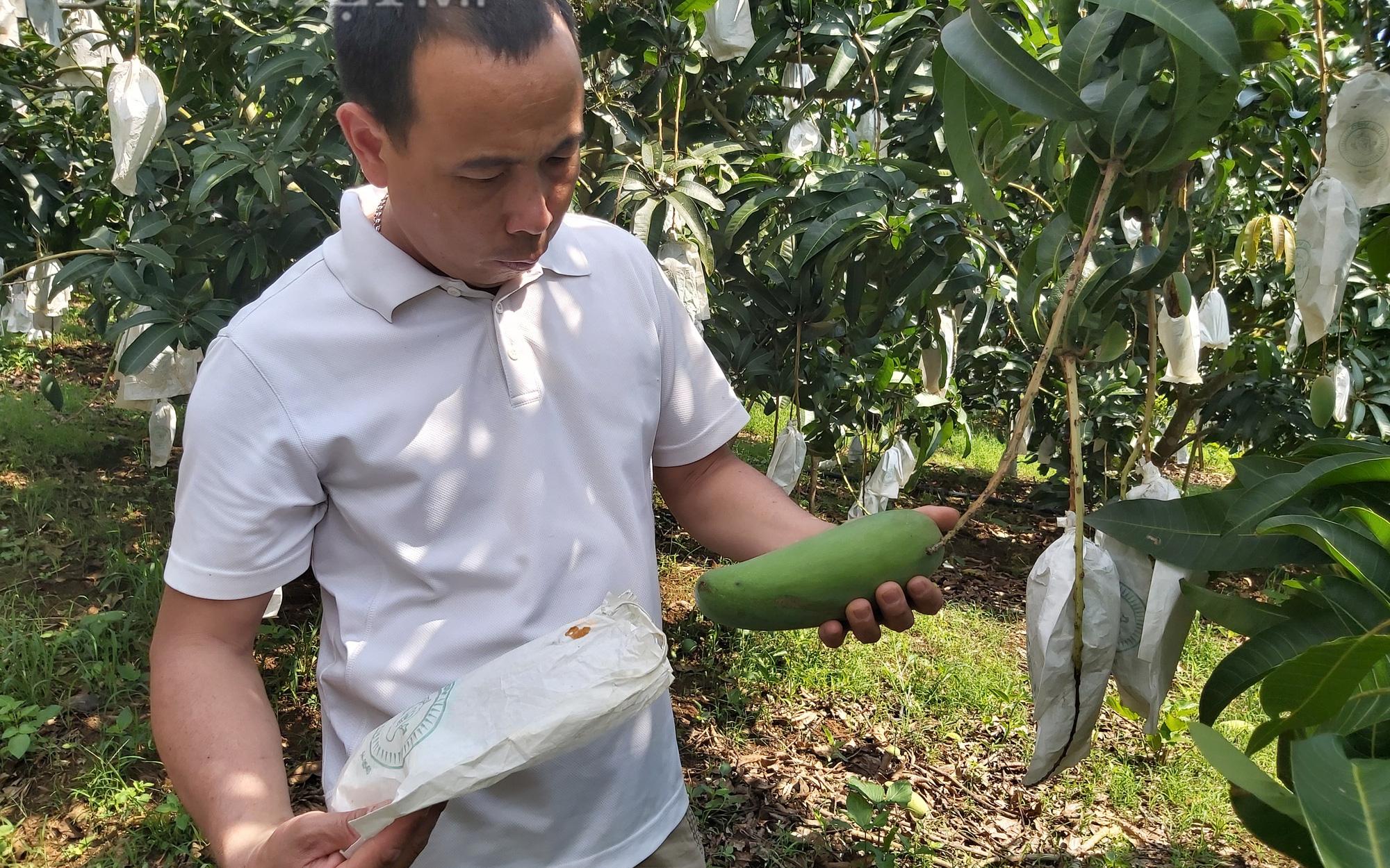 Sơn La muốn đón thương nhân Trung Quốc lên khảo sát tiêu thụ trái cây sau khi mua xong vải Bắc Giang