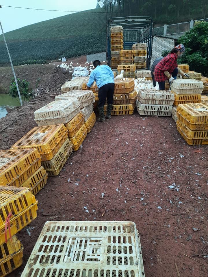 Giá gia cầm hôm nay 15/5: Giá vịt thịt ba miền giảm dần, gà công nghiệp chững giá - Ảnh 3.