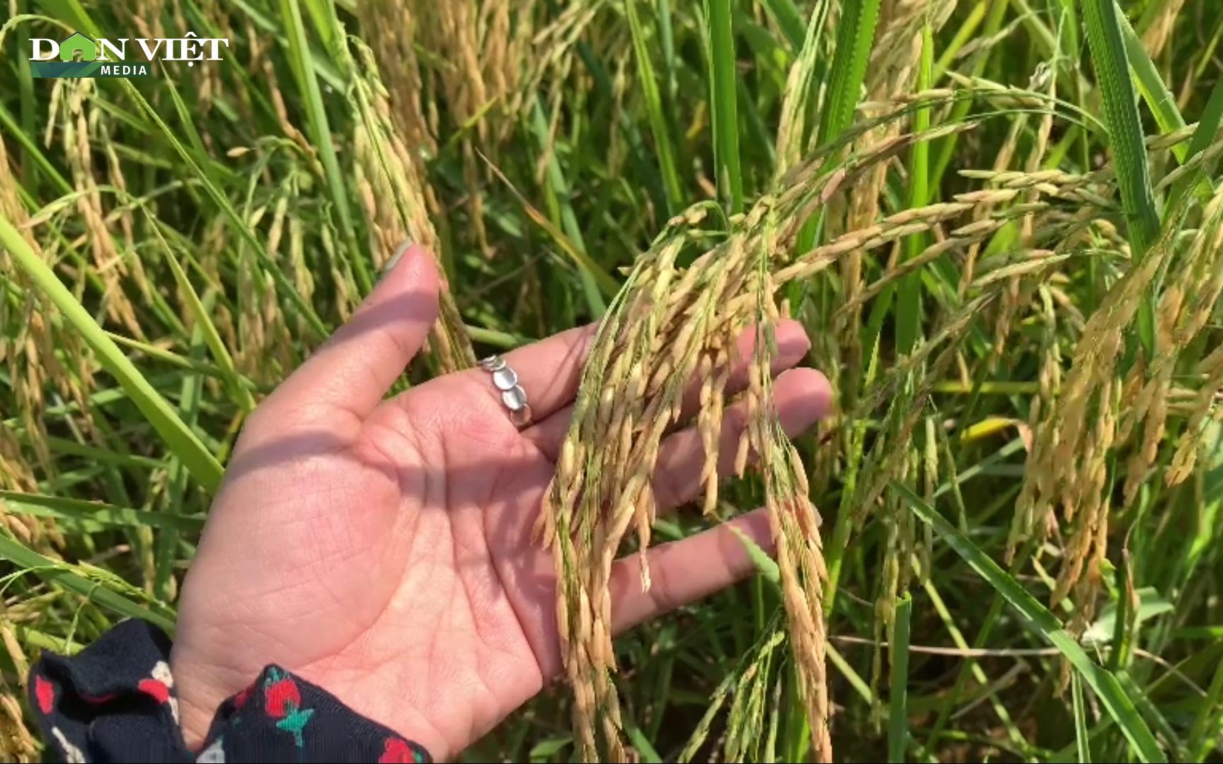 Đưa giống lúa ST24 ngon nhất nhì thế giới về trồng ruộng nhà, nông dân Hà Tĩnh được mùa bội thu