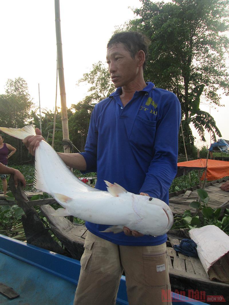 An Giang: Cá bông lau đặc sản trên sông Vàm Nao ngày càng hiếm, bắt được con to sao dân bà cậu vẫn buồn so? - Ảnh 1.