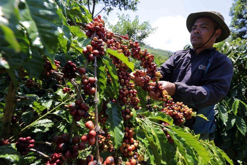 Giá cà phê tăng mạnh, dự báo giá cà phê tiếp tục tăng vì thiếu hụt toàn cầu - Ảnh 1.