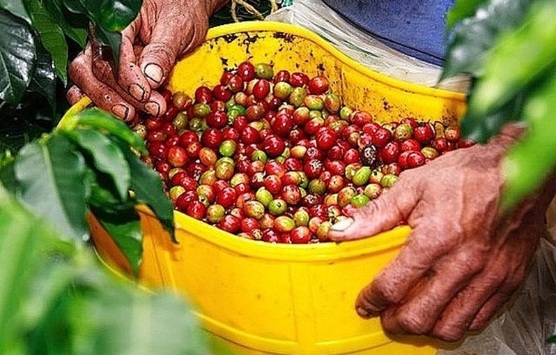 Giá nông sản hôm nay 16/5: Cà phê lao dốc, tiêu phản ứng trái chiều - Ảnh 3.