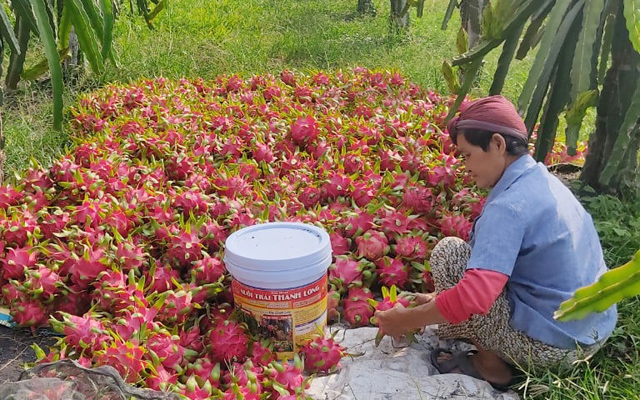 Người dân thu hoạch thanh long ở Bình Thuận. Ảnh IT