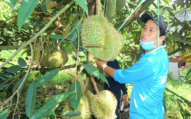 Sầu riêng Đạ Huoai được trồng theo tiêu  VietGAP. Ảnh Khánh Phúc