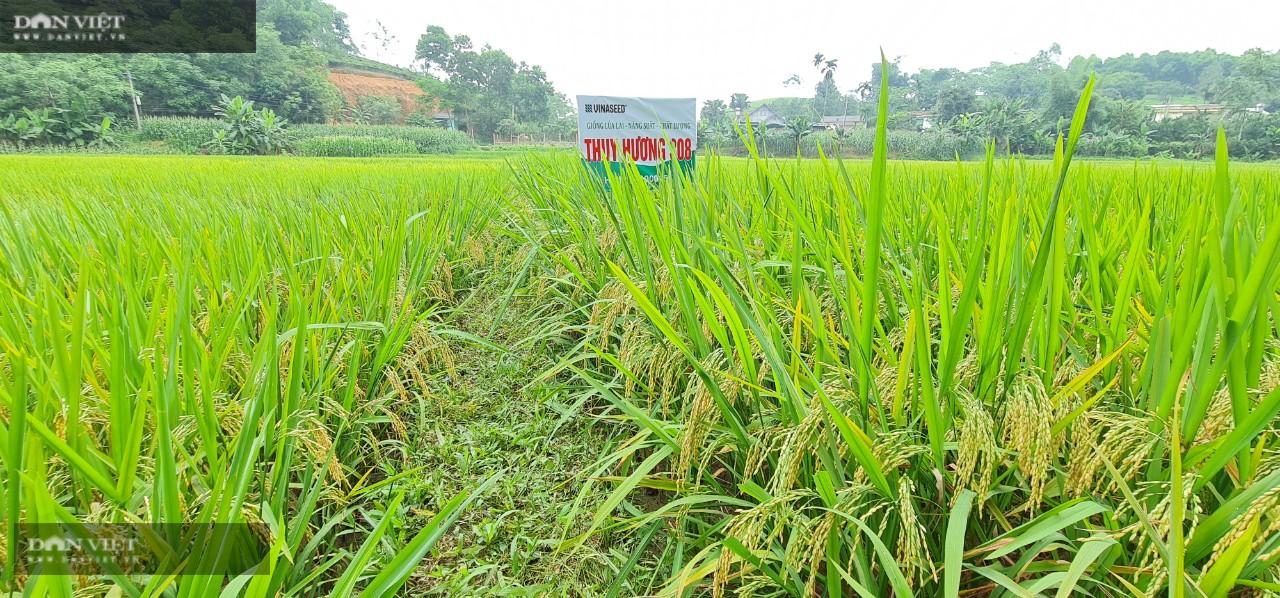 Giống lúa của Vinaseed có những ưu điểm gì mà được bà con nông dân đất Tổ ưa chuộng? - Ảnh 3.