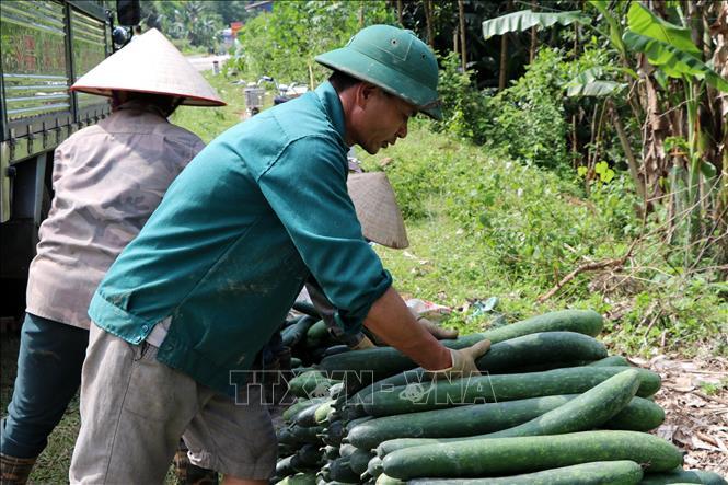 Giá bí xanh tại Hòa Bình sụt giảm mạnh - Ảnh 1.