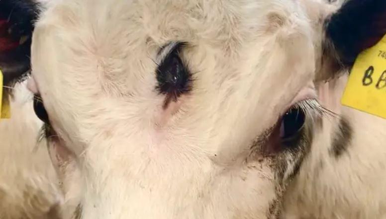 Có ngoại hình đặc biệt, con bê cực hiếm sinh ra có con mắt thứ ba ở ngay giữa trán - Ảnh 1.