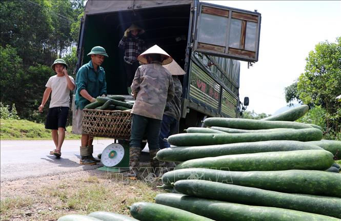 Giá bí xanh tại Hòa Bình sụt giảm mạnh - Ảnh 2.
