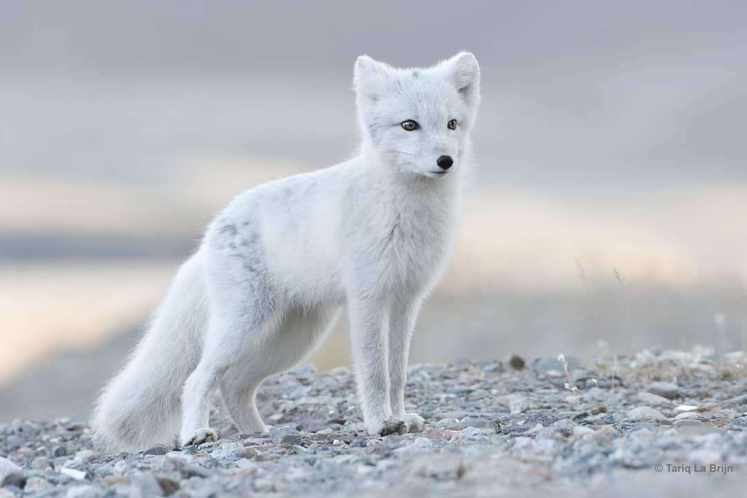 Chú cáo Bắc Cực đáng yêu cùng gia đình mới của mình - Ảnh 2.