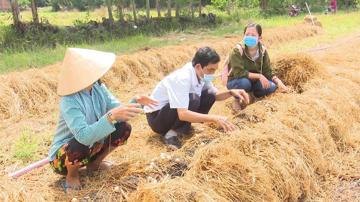 Long An: Ra đồng trồng nấm rơm ăn ngọt lừ, hái bán đắt như tôm tươi - Ảnh 1.