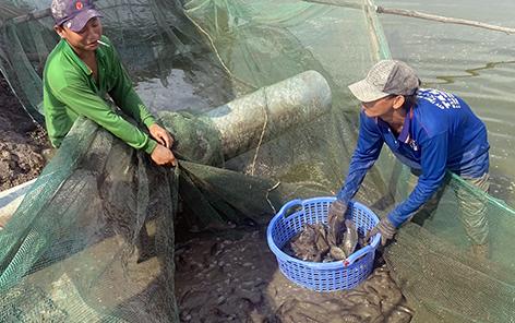 Hậu Giang: Nuôi dày đặc thứ cá này, bắt bán lên nông dân thua lỗ nặng - Ảnh 1.