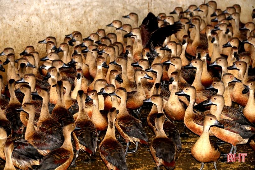 Hà Tĩnh: Nuôi hàng trăm con chim lạ, bơi lặn như vịt, anh nông dân bất ngờ lãi lớn