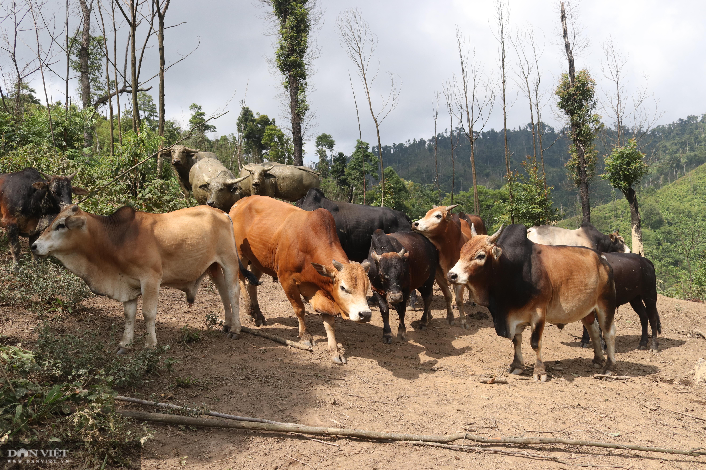 Thả rông trâu, bò lên rừng, lão nông người Mông ở giáp Lào đút túi hơn trăm triệu mỗi năm - Ảnh 2.