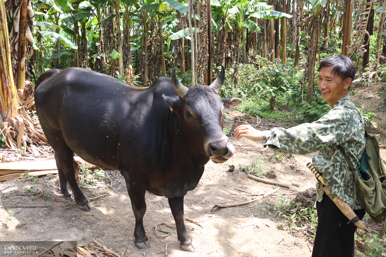 Thả rông trâu, bò lên rừng, lão nông người Mông ở giáp Lào đút túi hơn trăm triệu mỗi năm - Ảnh 3.