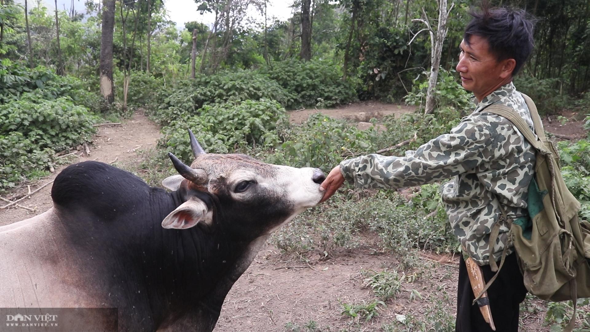 Thả rông trâu, bò lên rừng, lão nông người Mông ở giáp Lào đút túi hơn trăm triệu mỗi năm - Ảnh 4.