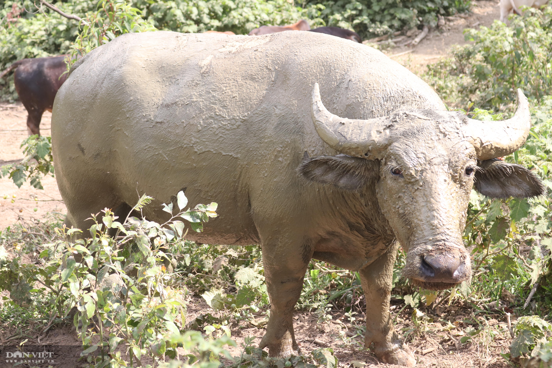 Thả rông trâu, bò lên rừng, lão nông người Mông ở giáp Lào đút túi hơn trăm triệu mỗi năm - Ảnh 10.