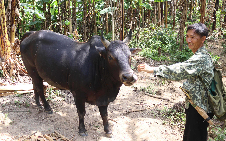 """Sơn La: Nuôi trâu """"vai u"""", nuôi bò """"thịt bắp"""" ở trong rừng, cho liếm tí muối, lão nông người Mông kiếm bộn tiền"""