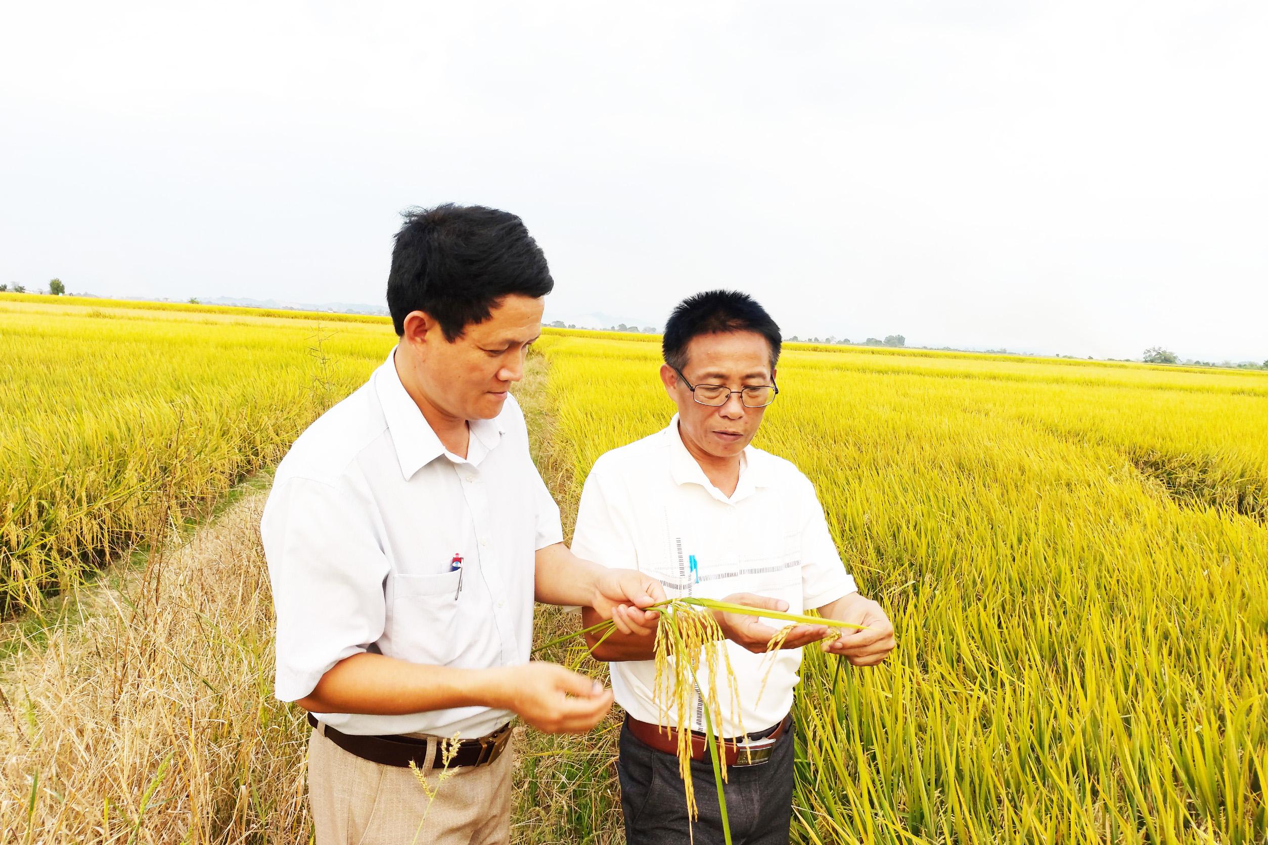Mùa vàng trên cánh đồng năng suất cao nhất Tây Nguyên - Ảnh 4.