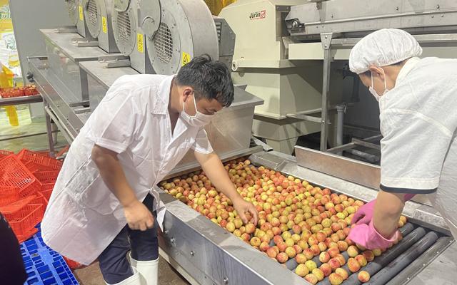 15 tấn vải thiều này được xử lý sơ chế tại công ty CP Xuất Nhập khẩu thực phẩm Toàn Cầu (Bắc Giang).