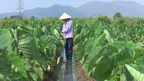 """Bình Thuận: Trồng luân canh thứ cây ra quả gọi là củ với giống khoai môn tốt um, cứ 1 sào """"ăn chắc"""" 25 triệu - Ảnh 1."""