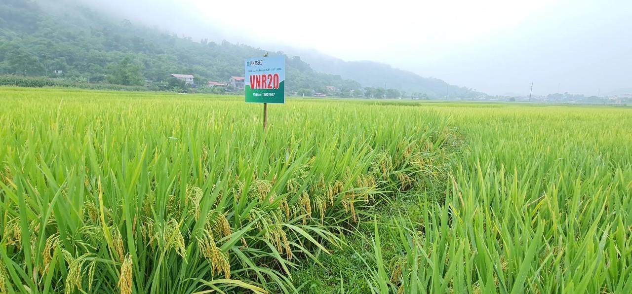 VNR 20 có gì đặc biệt mà năng suất cao hơn đến 15% so với giống lúa khác trên đất xứ Mường - Ảnh 1.