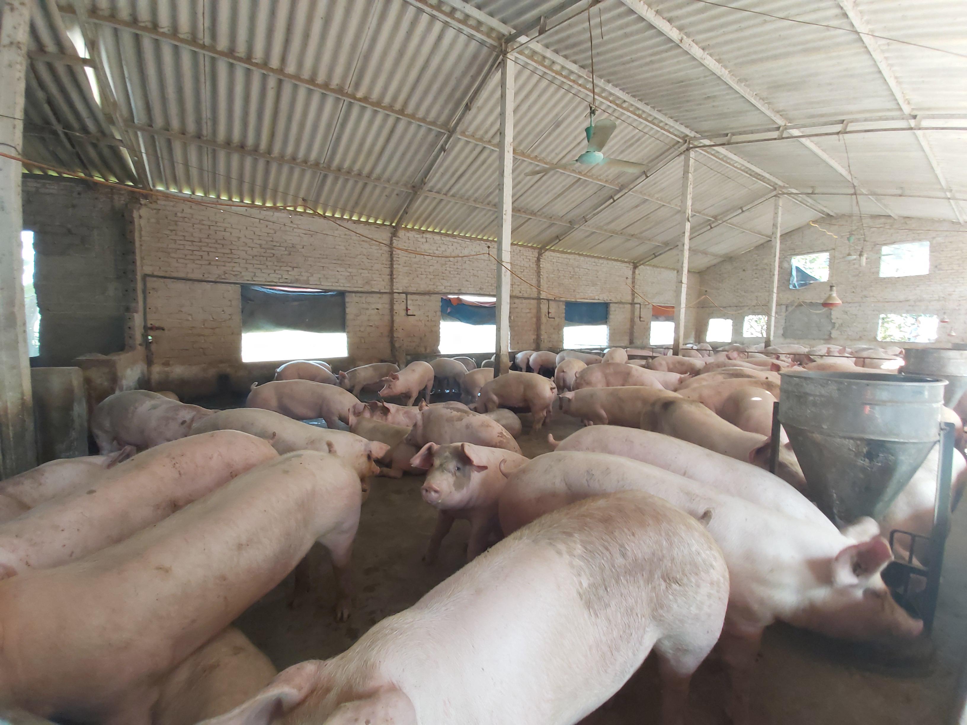 Giá heo hơi hôm nay 28/5: Giá thức ăn chăn nuôi tăng chóng mặt, nông dân sợ lỗ bán gấp, giá heo hơi giảm thêm - Ảnh 1.