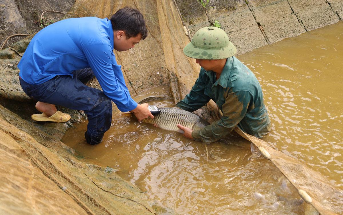 Lào Cai: Vì sao những con cá chép to bự nuôi ở đây phải gắn mã số điện tử - Ảnh 1.