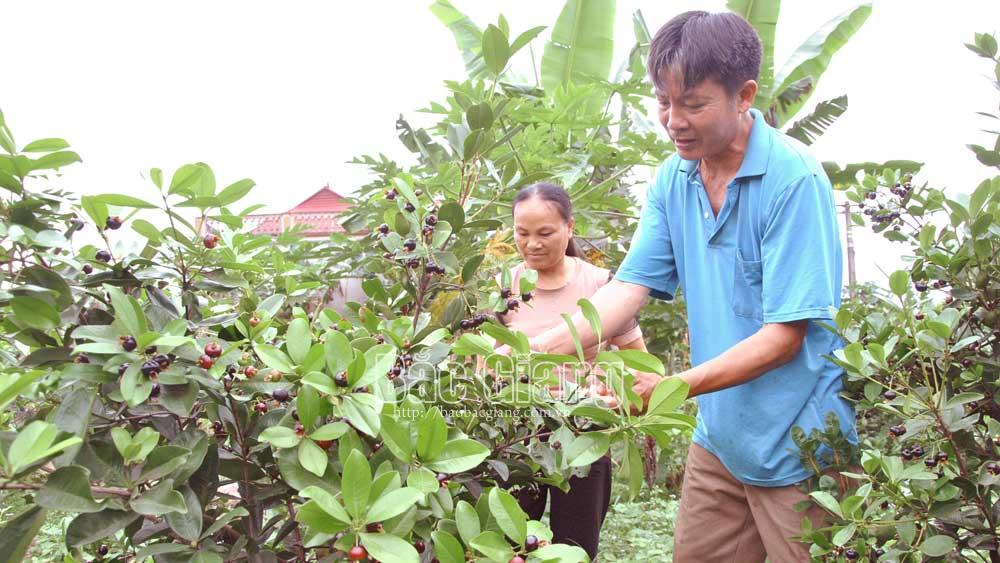 Trồng loại quả lạ màu đen sì, thơm, ngọt lạ, một ông nông dân Bắc Giang tiền túi lúc nào cũng rủng rỉnh - Ảnh 1.