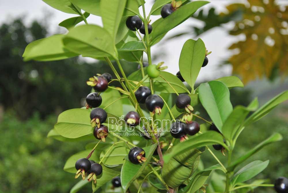 Trồng loại quả lạ màu đen sì, thơm, ngọt lạ, một ông nông dân Bắc Giang tiền túi lúc nào cũng rủng rỉnh - Ảnh 4.