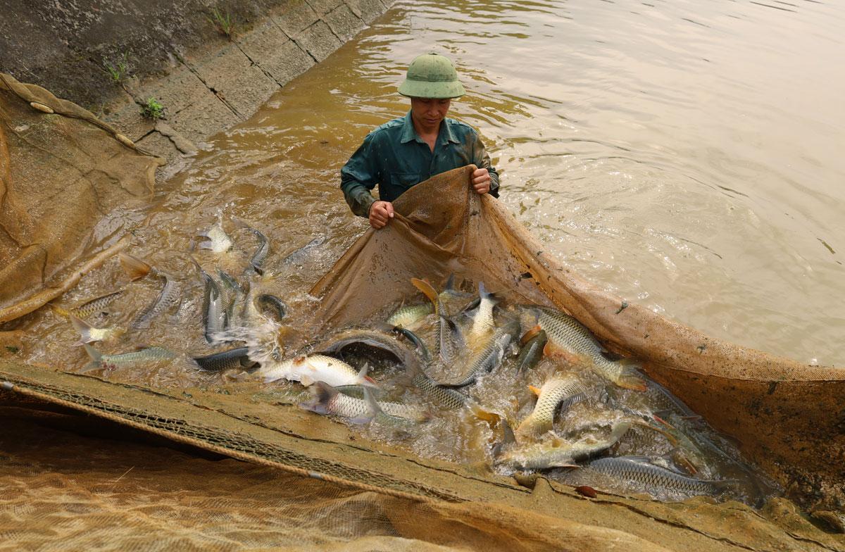 Lào Cai: Vì sao những con cá chép to bự nuôi ở đây phải gắn mã số điện tử - Ảnh 2.