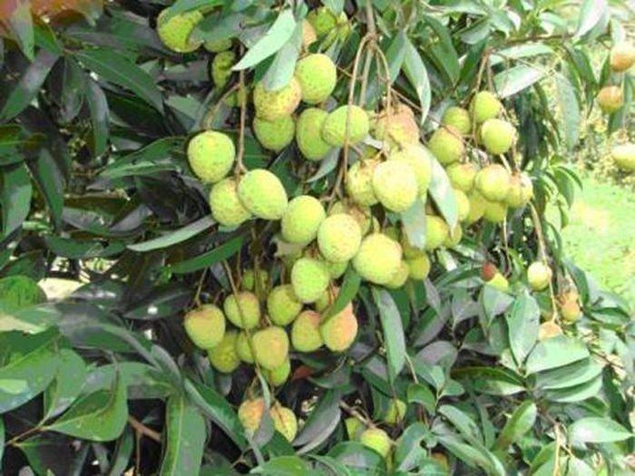 Thời điểm không nên ăn quả vải, tránh gây hại sức khỏe  - Ảnh 8.