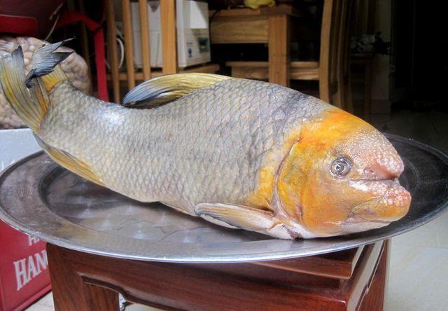 """5 loài cá cực hiếm được ví là """"ngũ quý hà thủy"""", có tiền chưa chắc đã mua được là những loại nào? - Ảnh 1."""