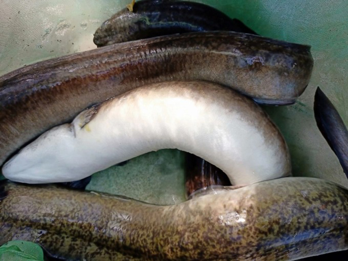 Quảng Ngãi: Nông dân nuôi thứ cá gì mà vừa dài vừa to bự, bán 600.000 đồng/kg mà nhiều người cứ mua? - Ảnh 2.