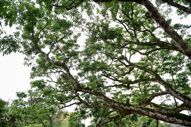 """Chiêm ngưỡng cây vải tổ, được mệnh danh là """"báu vật"""" 200 năm tuổi của đất vải Thanh Hà - Ảnh 3."""