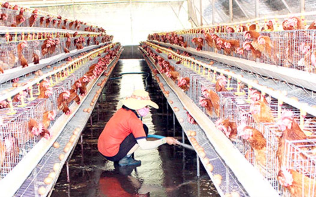 """Giá gia cầm hôm nay 28/5: Giá gà trắng miền Nam còn 23.000 đồng/kg, nông dân """"chết dở"""" vì nợ nần"""