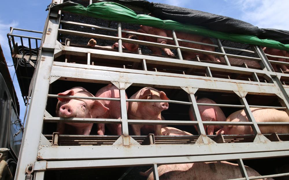 Tạm ngừng nhập khẩu lợn sống Thái Lan vào Việt Nam  - Ảnh 1.