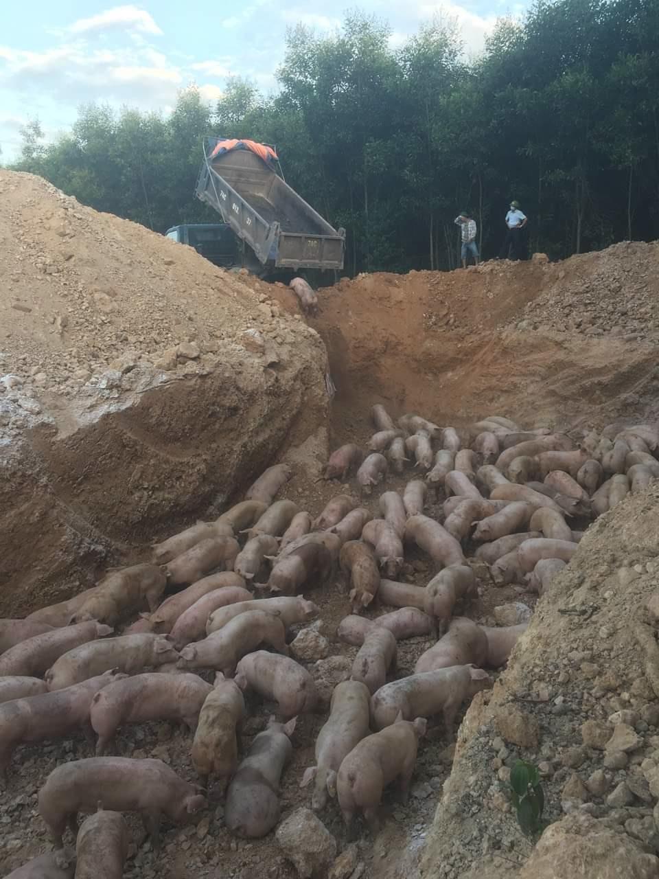 Phát hiện lợn nhập bị nhiễm bệnh Dịch tả lợn châu Phi, Việt Nam tạm ngừng nhập khẩu lợn sống từ Thái Lan - Ảnh 1.