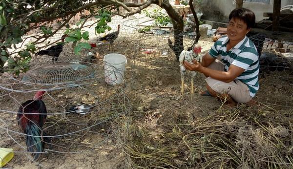 """Bình Định: Nuôi thứ gà nòi trên đất võ Tây Sơn, nông dân cho gà ăn """"sang chảnh"""" nhưng bán kiểu gì cũng đắt tiền - Ảnh 1."""