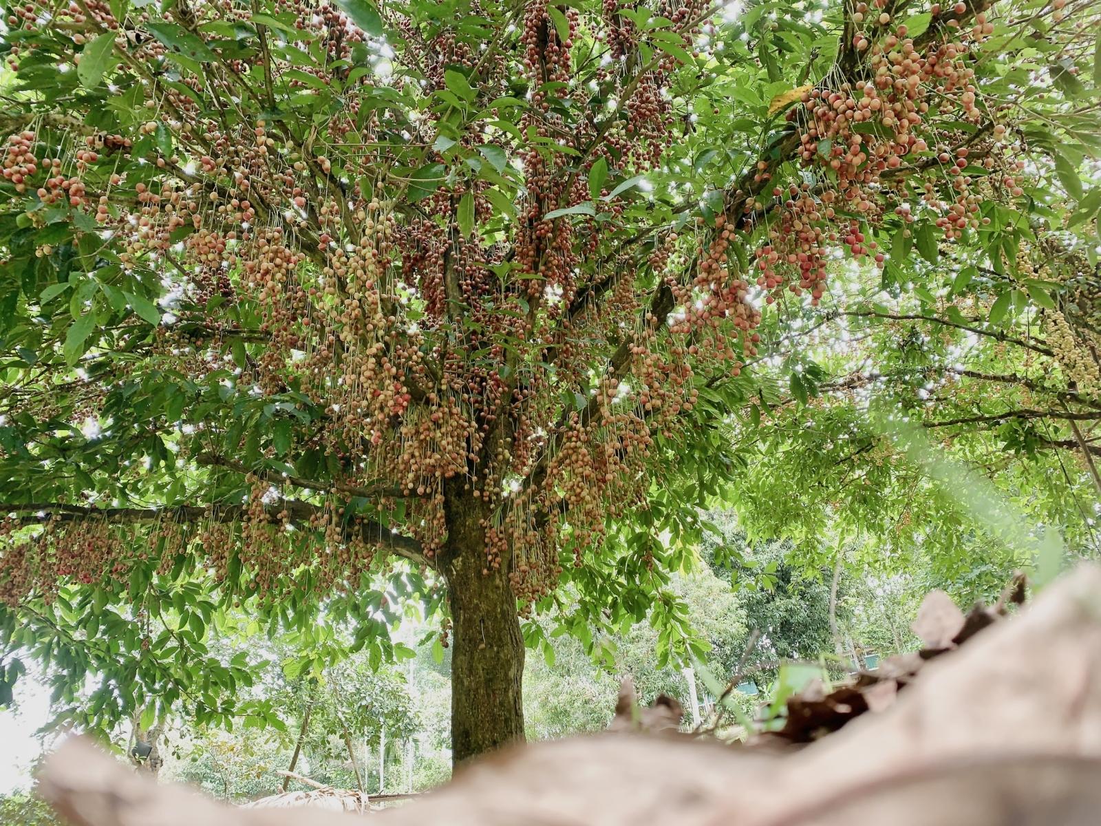 Hà Tĩnh: Loại quả mọc chi chít từ gốc đến ngọn, thương lái phải đến tận vườn đặt mua? - Ảnh 1.