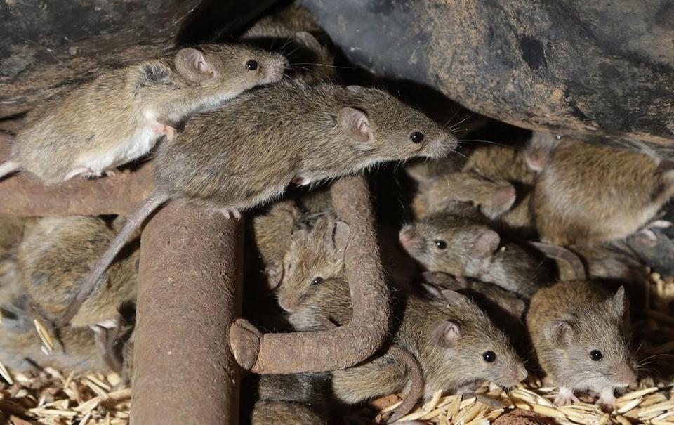 """Chuột nhà hoành hành """"lớn chưa từng có"""", nông dân Australia có thể thiệt hại tới 775 triệu USD - Ảnh 1."""