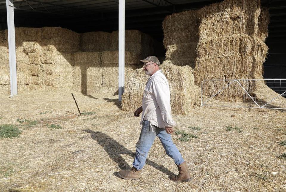 """Chuột nhà hoành hành """"lớn chưa từng có"""", nông dân Australia có thể thiệt hại tới 775 triệu USD - Ảnh 2."""